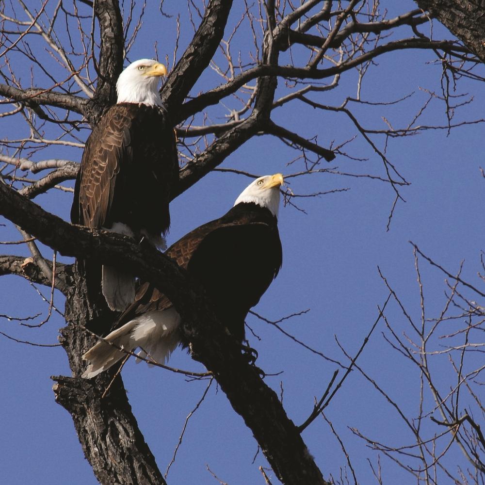 Bald Eagle - Photo: USFWS