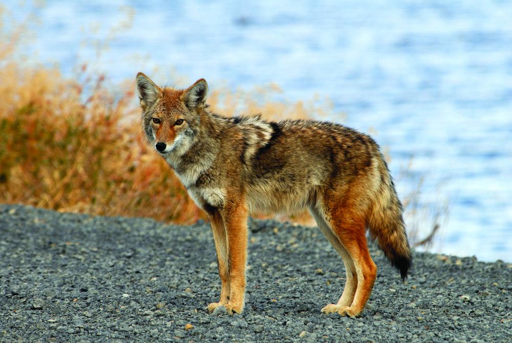 Coyote - Photo: USFWS
