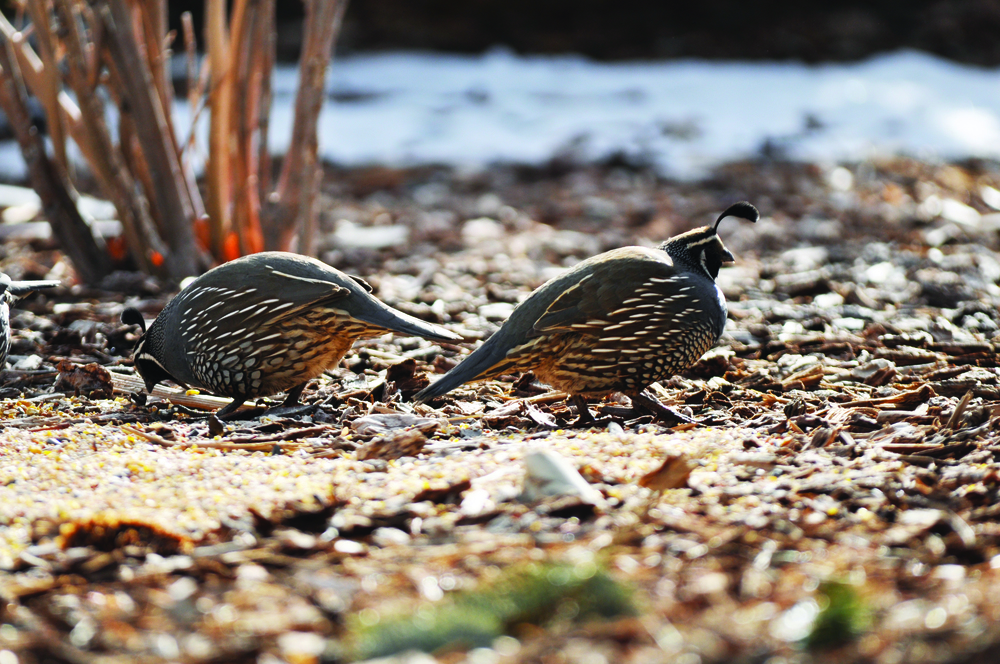 Valley Quail - Photo: USFWS