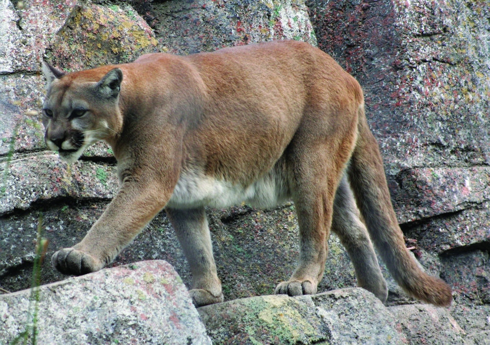 Mountain Lion - Photo: Tony Hisgett
