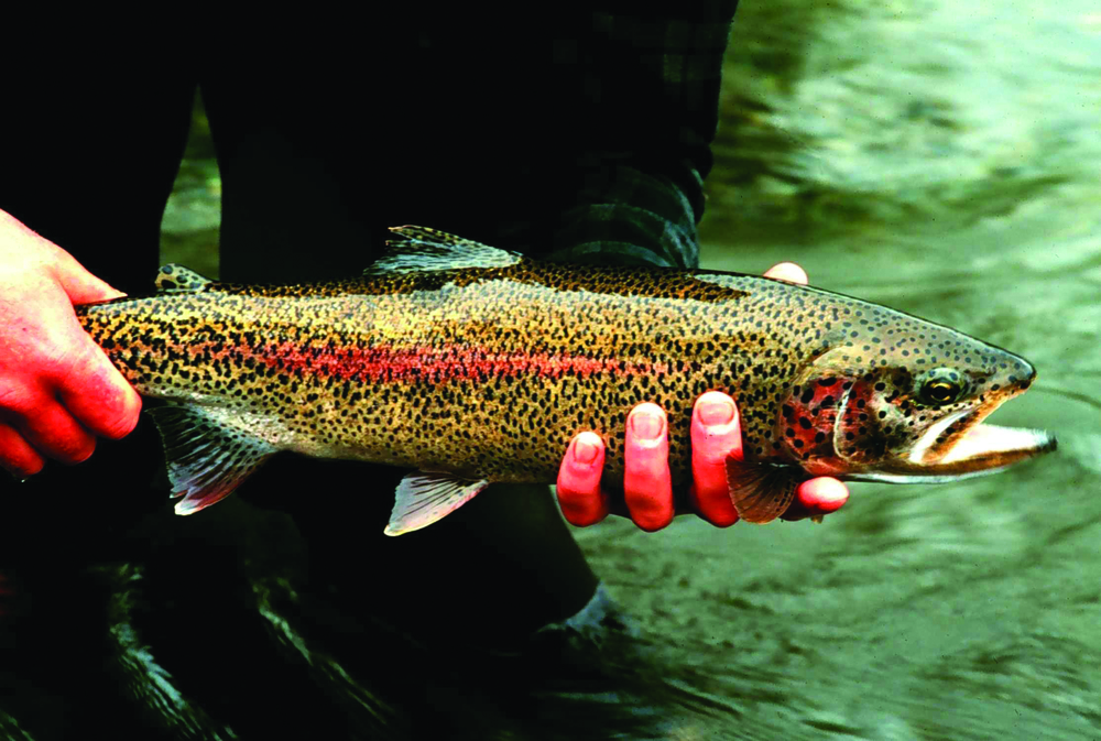 Rainbow Trout - Photo: Lisac Mark, USFWS