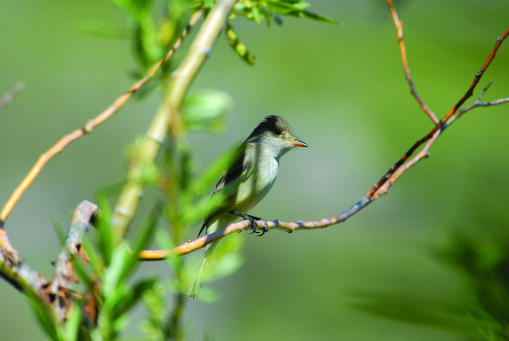 Willow Flycatcher - Photo: Davide Menke, USFWS
