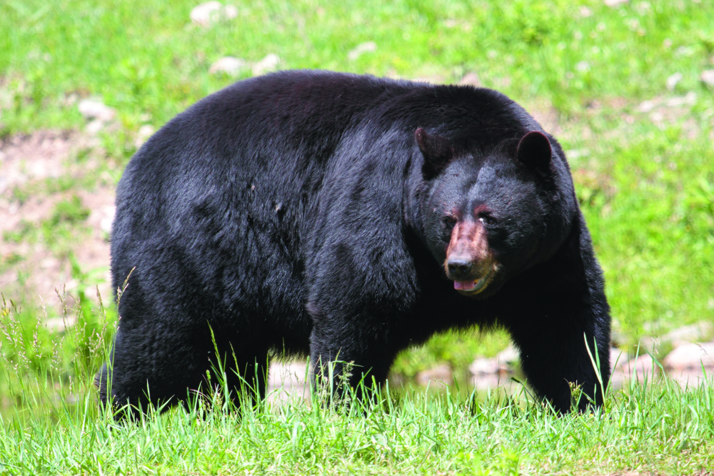Black Bear - Photo: Cephas