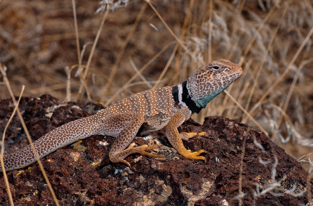 Great Basin Collared Lizard - Photo: Jackson Shedd