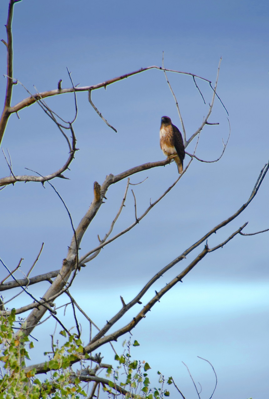 Red-taild Hawk - Photo: WBC