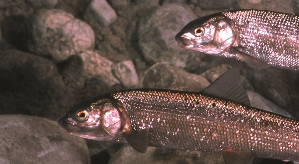 Mountain Whitefish - Photo: National Park Service