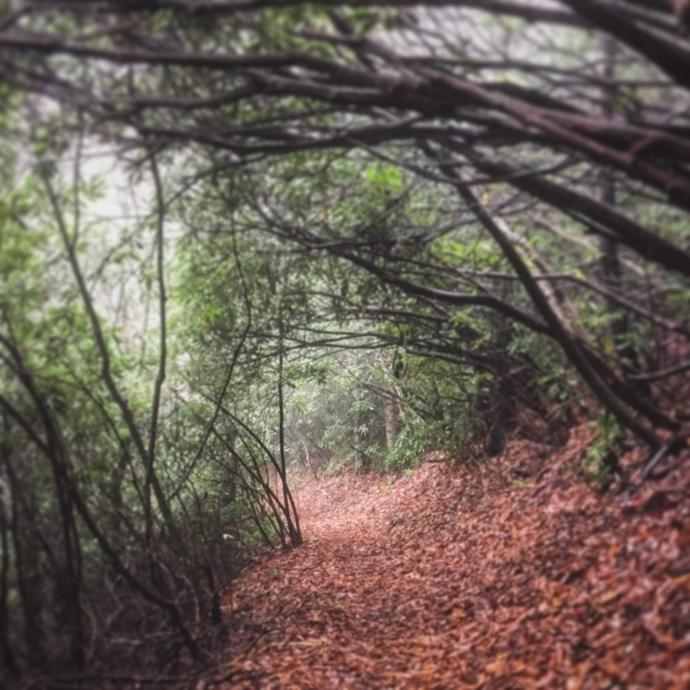 Rhododendron tunnel hiking on a rainy morning.