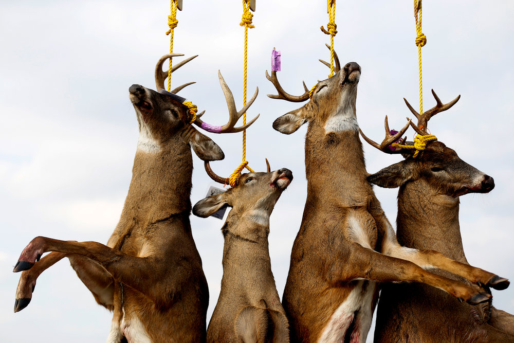 Deer hang after being tagged at the buck pole outside Ray C's Extreme Store on the first day of firearm deer hunting season Tuesday, Nov. 15, 2016 in Lapeer.