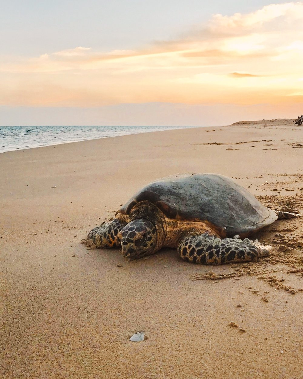 A Green Sea Turtle makes her way back to the sea after laying her eggs