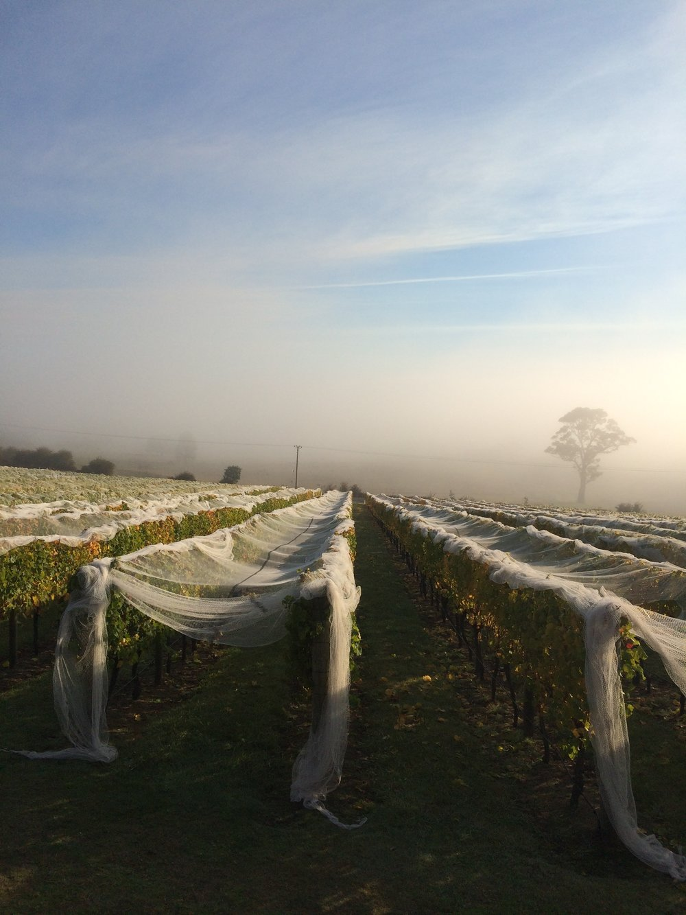 Foggy mornings lead to a bright sunshiny day. Warm, dry conditions with only afew days rain made picking decisions easier this vintage compared to other years.