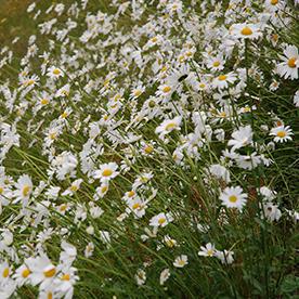 Prestekrage Leucanthemum vulgare