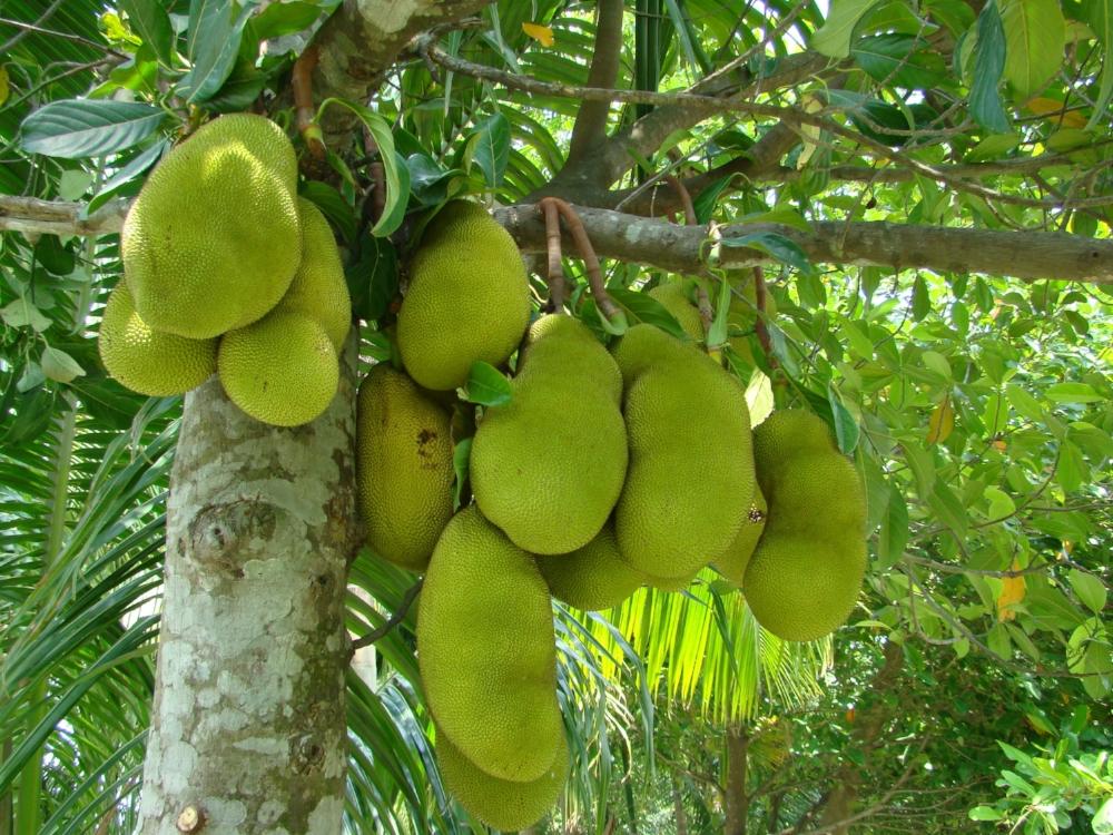 Jackfruit_Bangladesh_3.jpg