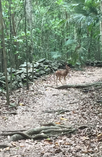 I found Bambi! So many deer along the Reef Bay Trail, including this little one.