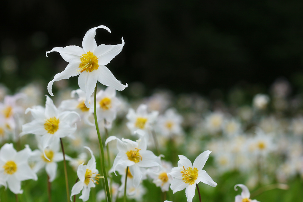 White Avalanche Lily, Mt Rainier NP, WA