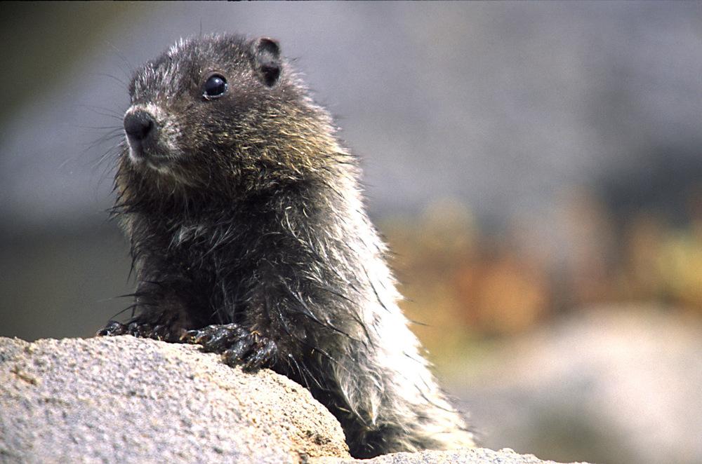 Baby Marmot, Mt Rainier NP, WA