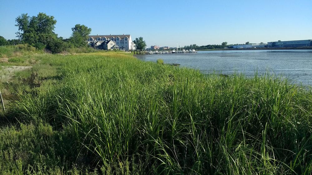 Salt marsh during the 2nd growing season in 2017