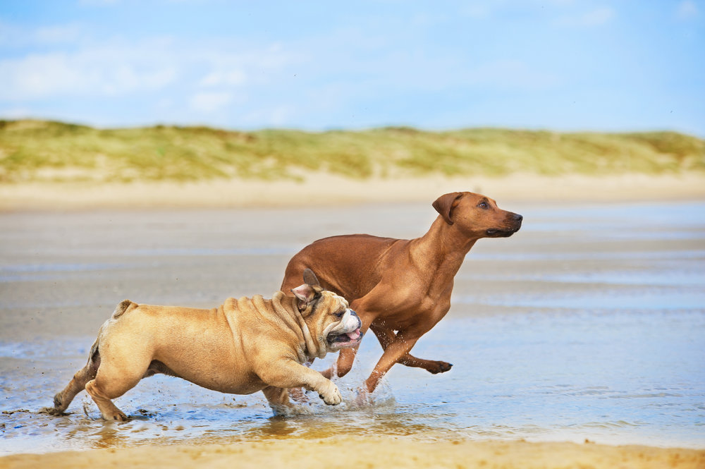 bulldog and Rhodesian running beach