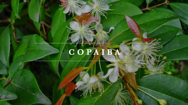 Young Living Copaiba, Myrrhmaids dive in