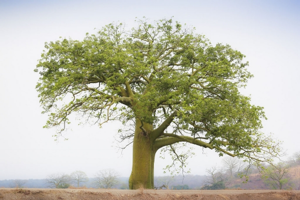 Copaiba Tree, Myrrhmaids dive in