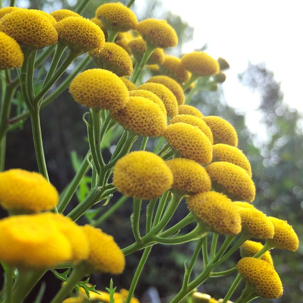 INGREDIENTS: Blue Tansy essential oil