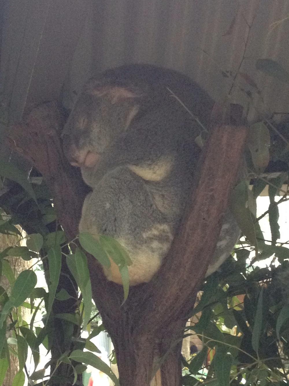 More koala!