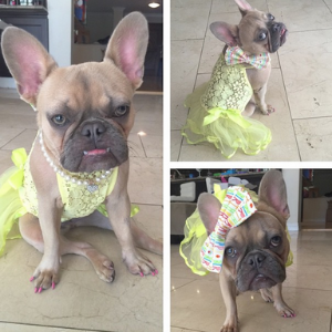 "Kiko (Instagram: kiko_the_little_frenchie) Dog-tagline: ""I live every day as if it's my birthday and all eyes are on me!"""