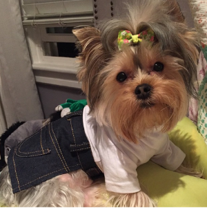 "Giggy (Instagram: giggy_theyorkie) Dog-tagline: ""I've always been the sweet pooch next door, but tease me with treats and it will be hard to gain my trust back!"""