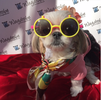 Warm & Trendy Pebbles the shihtzu. Loving the glasses & fashion scarf.