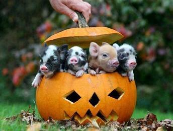 pig-o-lantern