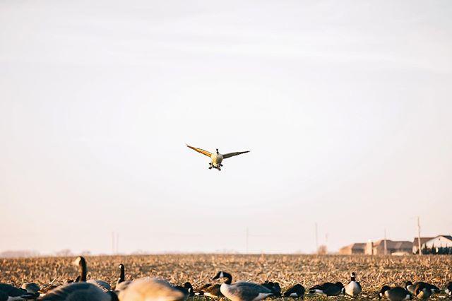 Sailing into the week like... #MotionCulture #PassionOfPursuit #Canada #Geese #Kansas #SickForIt #Waterfowl #Hunting #LockedUp #CuppedUp