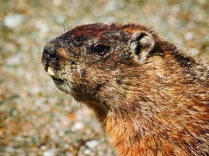 Groundhog 100dpi.jpg