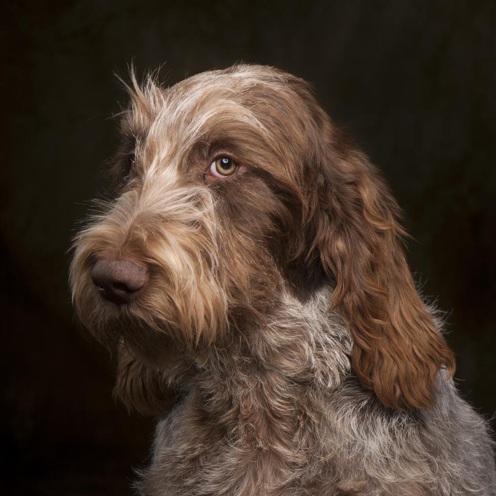Italian Spinoni Dog Photograph