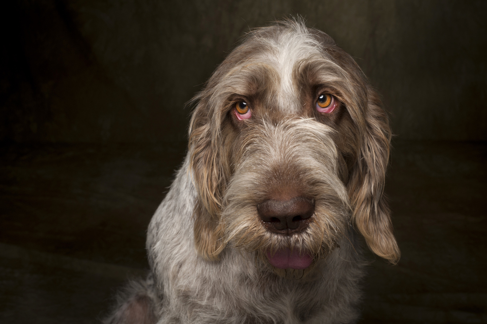 Italian Spinoni Dog Photography
