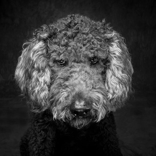 Don't be mad it Saturday and beautiful in AZ. #arizonaphotographer #arizona #dogs #goldendoodle #petportrait