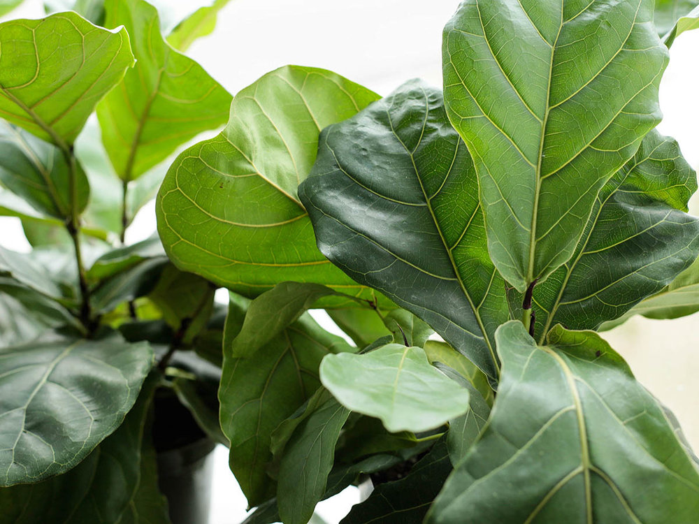 like most ficus trees watering about once a week when the soil is dry a few inches down and giving it plenty of bright light will ensure itu0027ll live a long - Ficus Trees