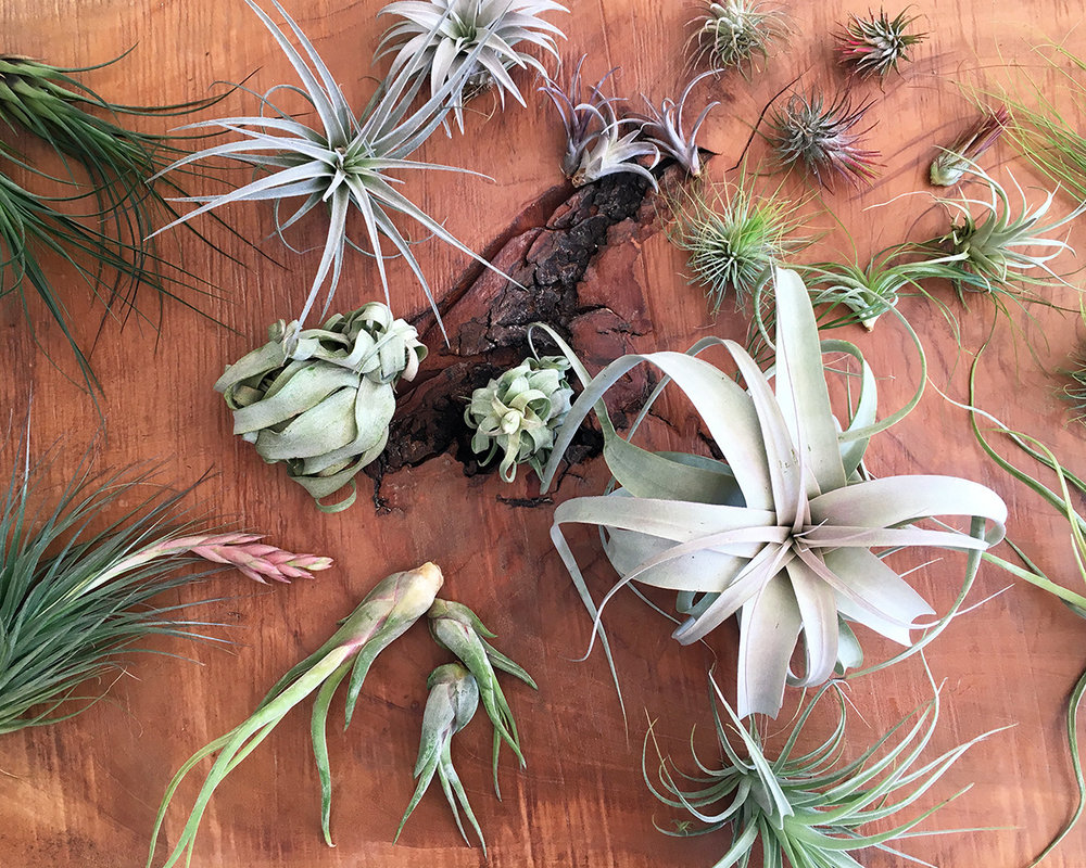 Not Just Air: All About Air Plants — STUMP