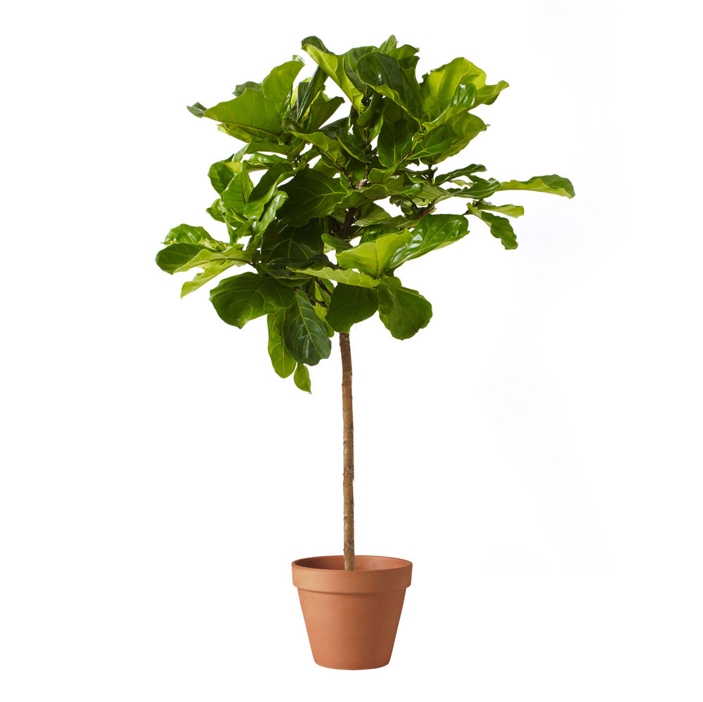 fiddle leaf fig - stump - test.jpg