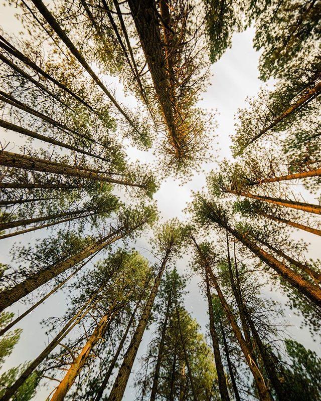 Here's lookin up towards the weekend.  #oregonexplored #traveloregon #itsalmostfriday #treesfordays