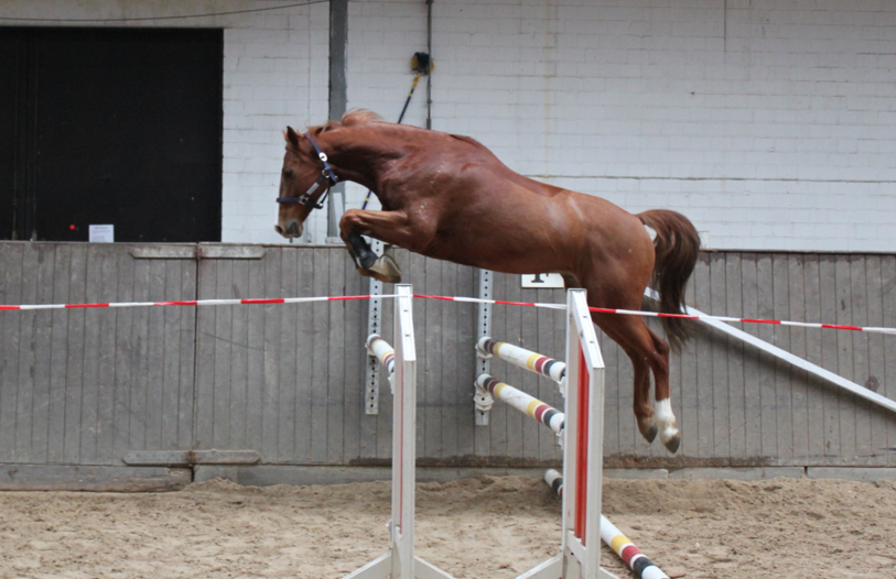 2005 Holstiener Gelding at a free-jumping competition in Germany before being imported to North America