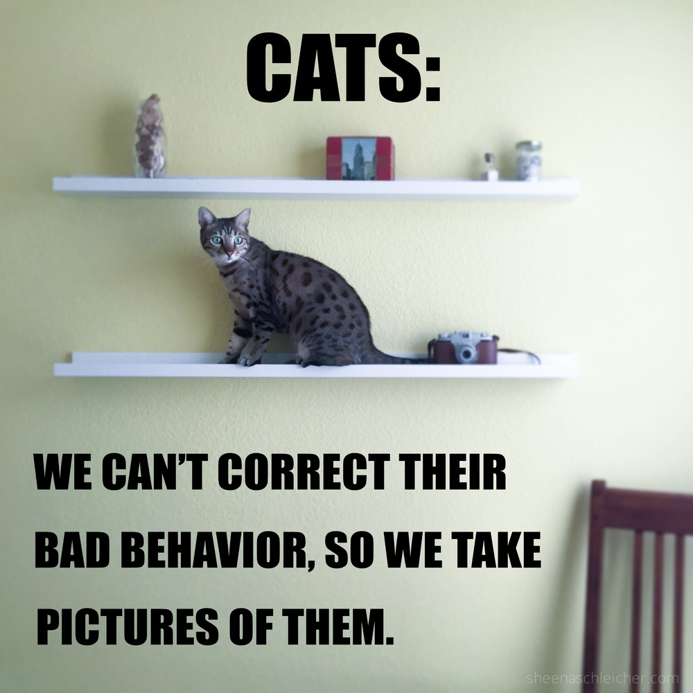 Cat bad behavior #cat #meme