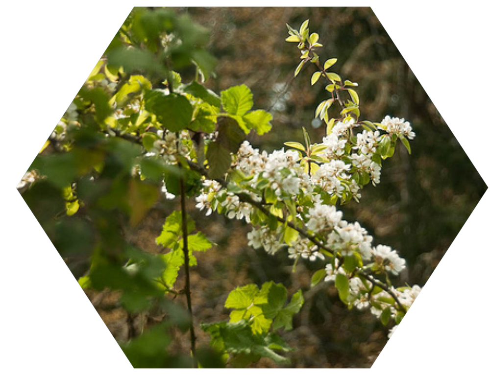 Deciduous Shrubs