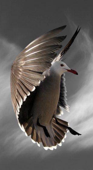 seagull flight color
