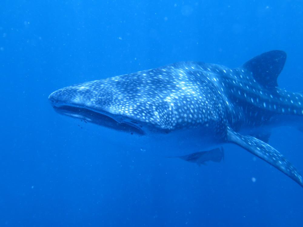 Whale Shark_2015_6.jpg