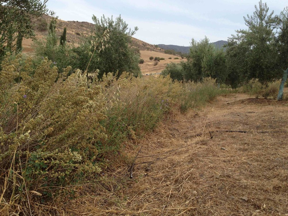 swales among the olive trees1.jpg