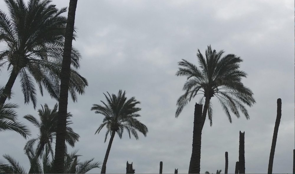 Deteriorated dates palms due to increased soil salinity and infestation by harmful pests