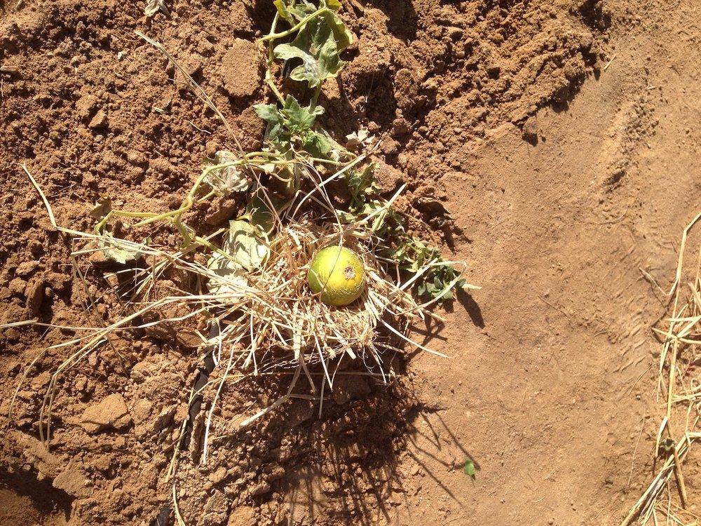 Hay-cradled melon