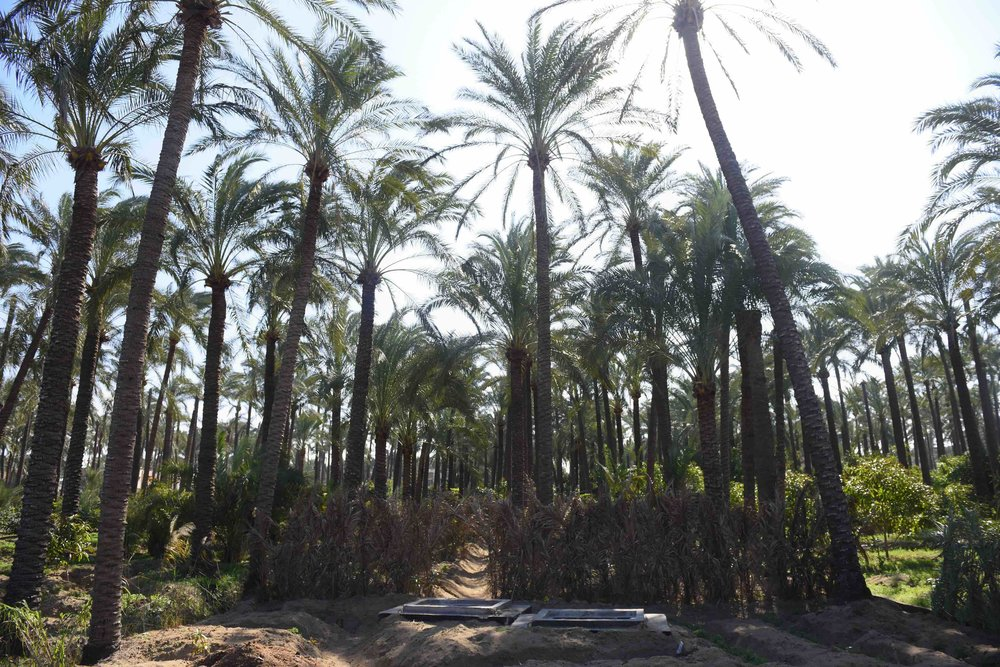 Date palms, deteriorated due to the increase salinity in the water and soil, and increased infestation by harmful pests