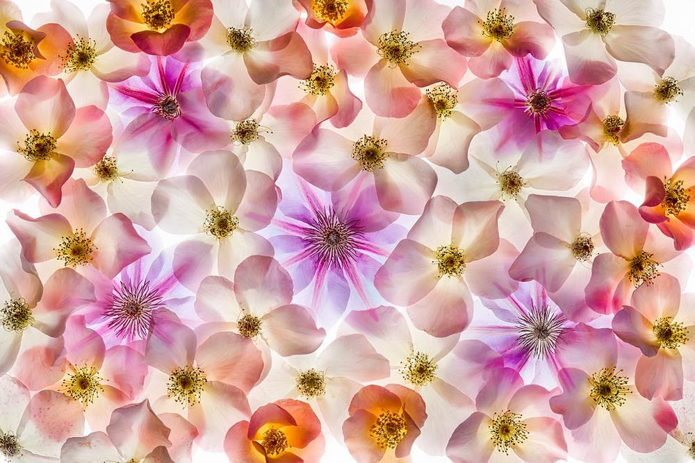 Harold Davis -Translucency of Rosa.jpg