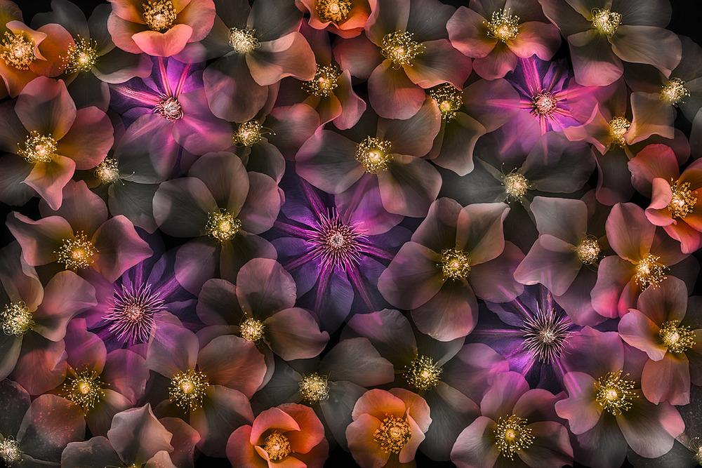 Harold Davis -Translucency of Rosa on Black.jpg