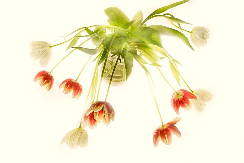Harold Davis -Tulips on White.jpg